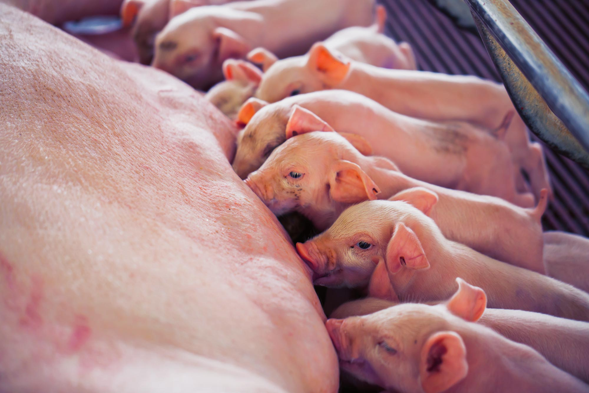 Healthy and strong piglets with Porcistart