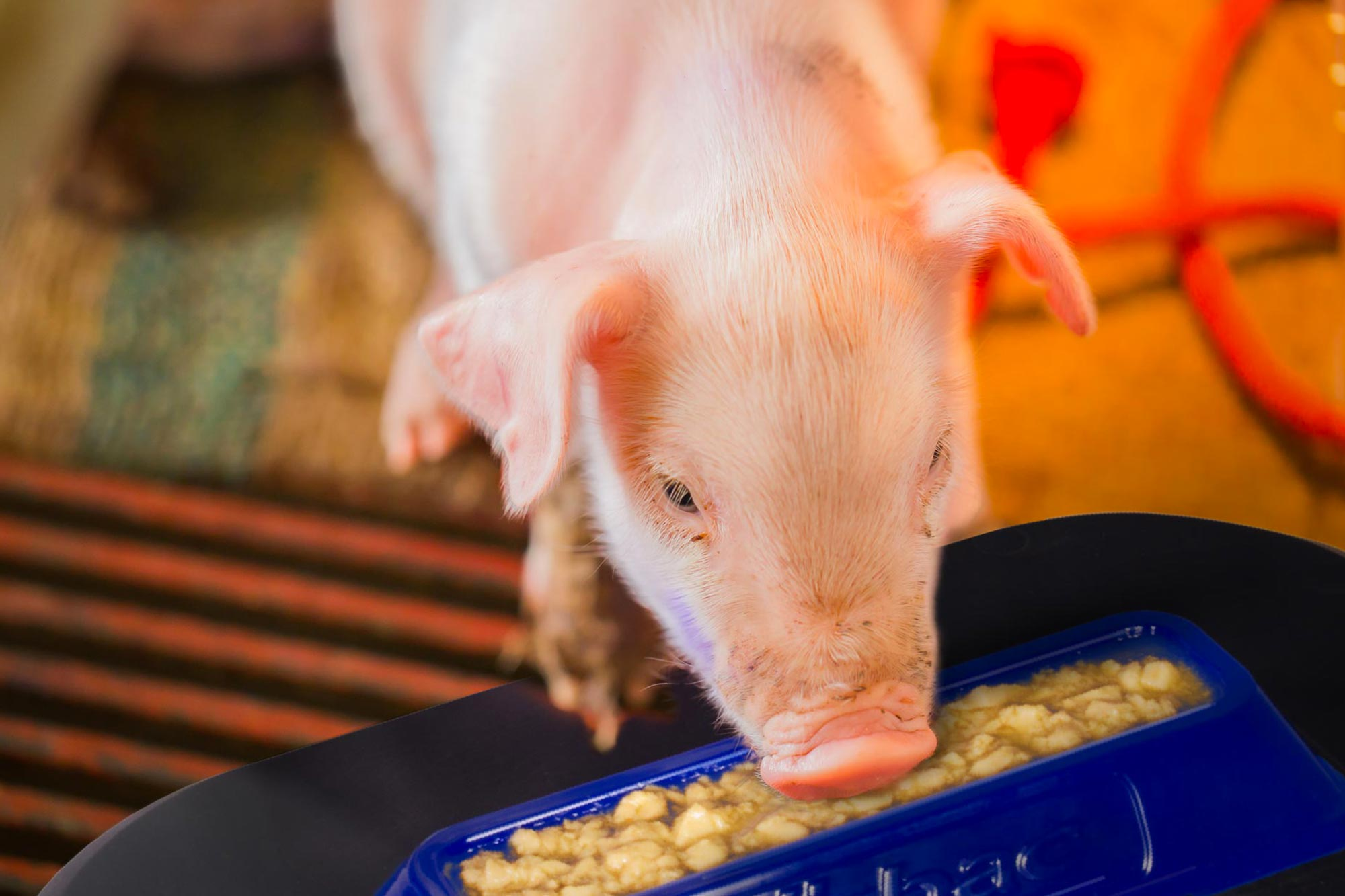 Porcistart reduces pre-weaning mortality and improve the weight of piglets at weaning